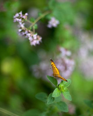 Great Spangled Fritillary Butterfly on Oregano Flowers #2