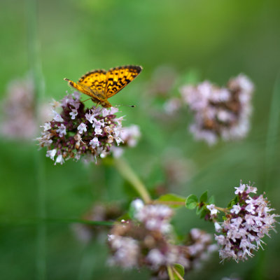 Great Spangled Fritillary Butterfly on Oregano Flowers #5