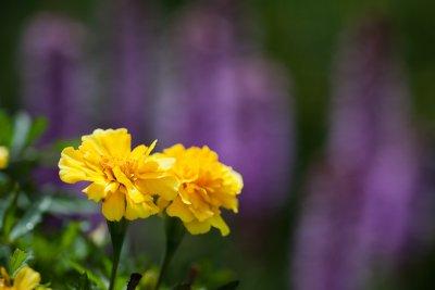 Marigolds and Liatris