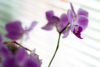 Purple Orchid #3