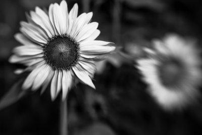 Short Sunflower Pair