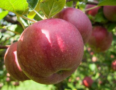 Apple Picking #1