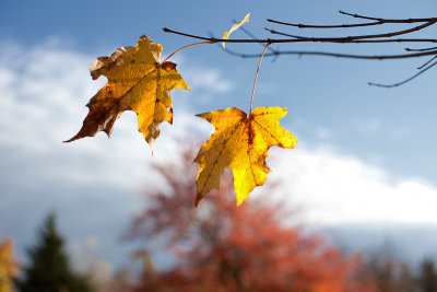Two Yellow Leaves