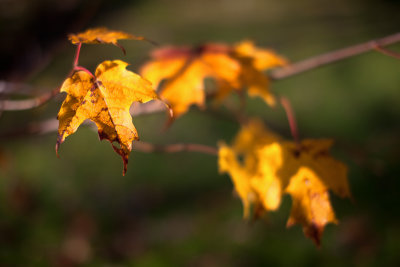 Yellow Leaves, Grass Background
