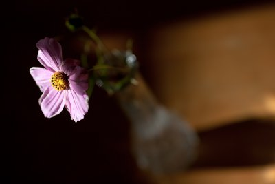 The Last Cosmo in a Vase with Shadow