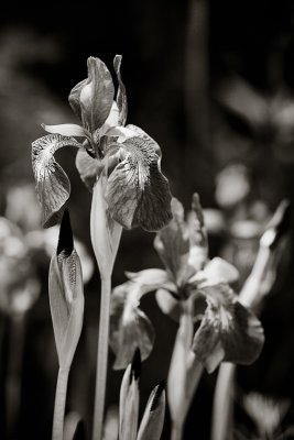 Monochrome Irises #2