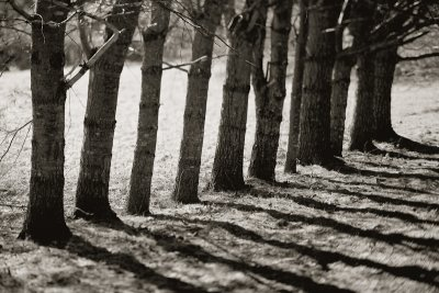 Line of Tree and Shadows #3