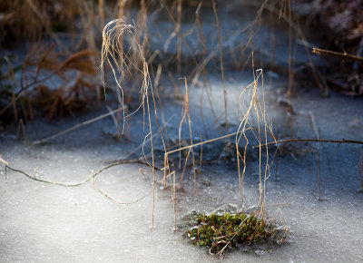 Winter Grass in Frozen Marsh