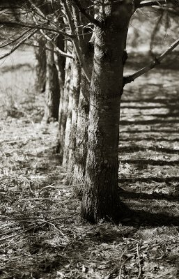 Line of Trees and Shadows #1