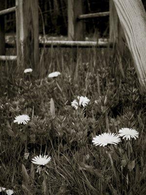 Dandelions Near Swings