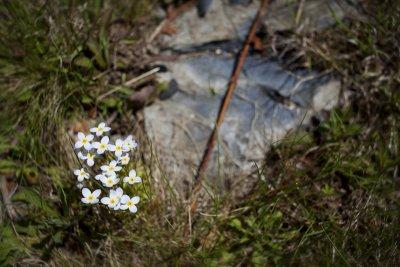 Bluets by a Rock