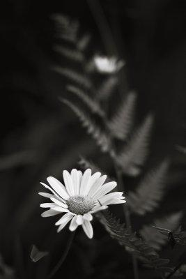 Daisies and Ferns