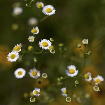 Little White Asters #1