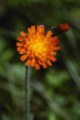 Orange Hawkweed Pair