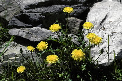 Dandelion Grouping with Rocks