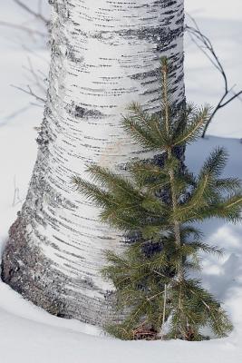 Birch and Baby Pine