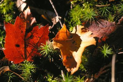 Fallen Leaves on Moss