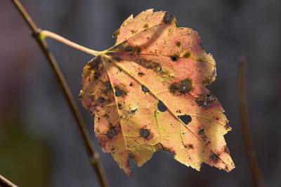 Last Orange Leaf on Twig
