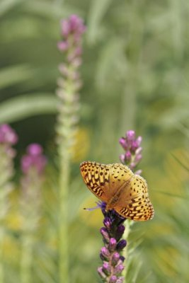 Great Spangled Fritillary Butterfly (Speyeria cybele) on Liatris from above