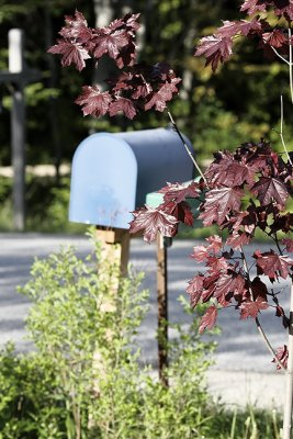 Red Maple by the Mailbox