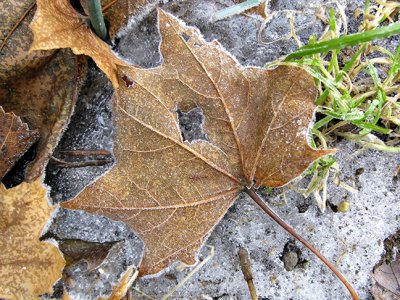 Lone Frosted Maple Leaf