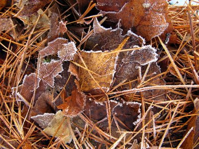 Frosted Leaves in Pine Needles #1