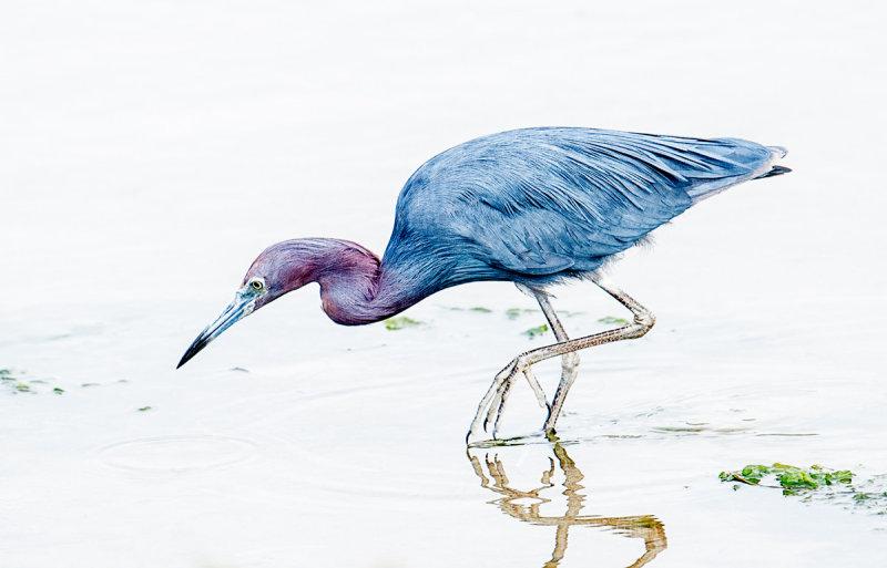 lil blue heron