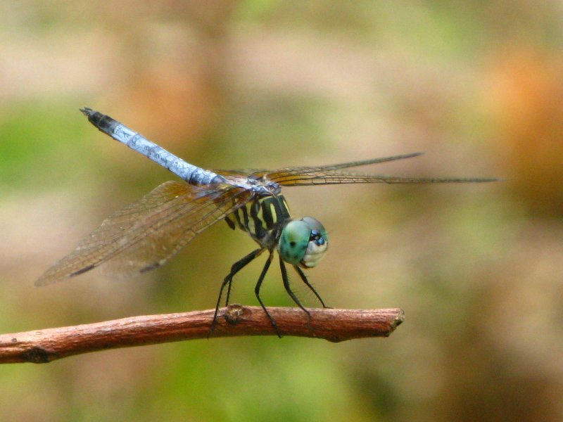 Blue Dasher male