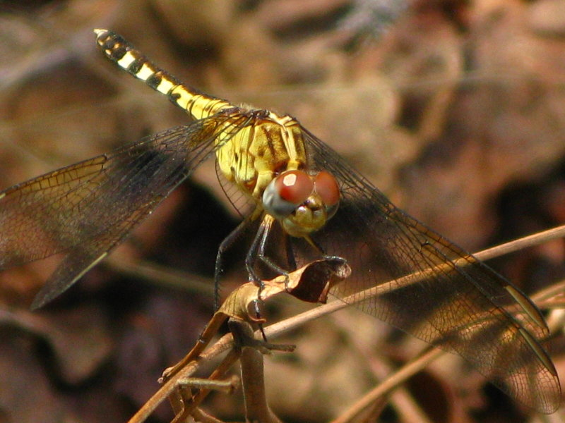 Band-winged Dragonlet female