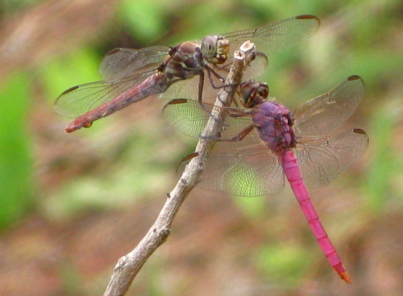 Roseate Skimmers