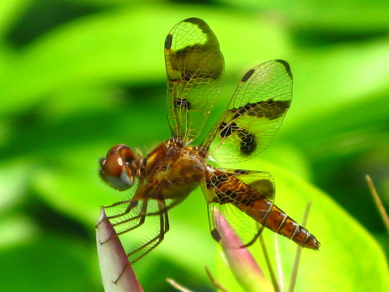 Eastern Amberwing - female