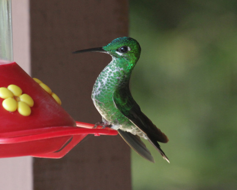 Green-crowned Brilliant, female