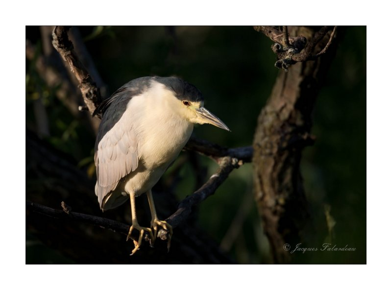Bihoreau / Black-Crowned Night-Heron
