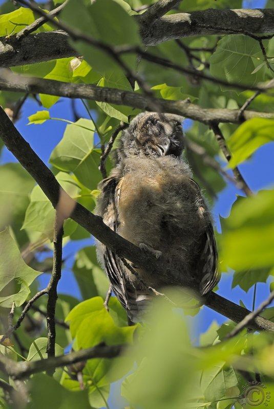 Baby Long-eared Owl #2