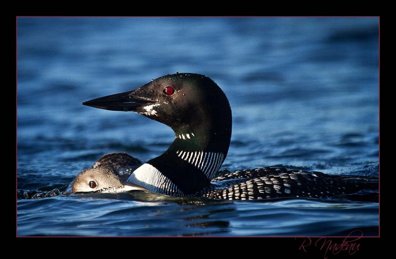 Loon from a kayak