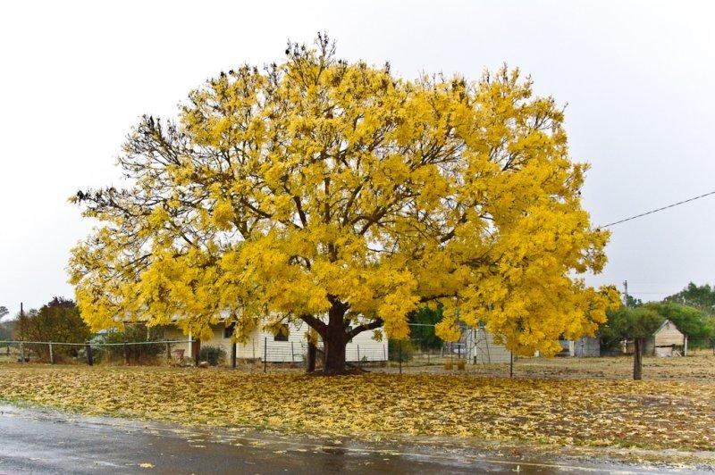 Yellow Tree in Rain