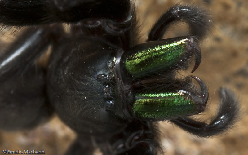 Segestria florentina_EM-95463.jpg