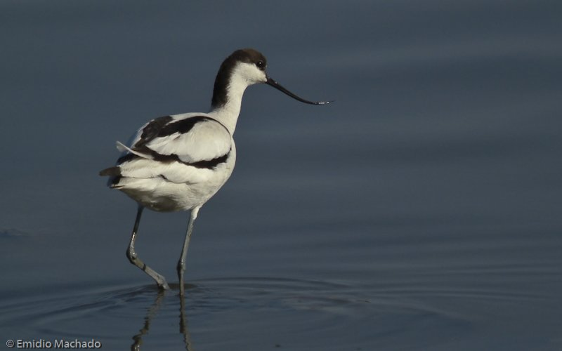 Recurvirostra avosetta  _EM-0189.jpg
