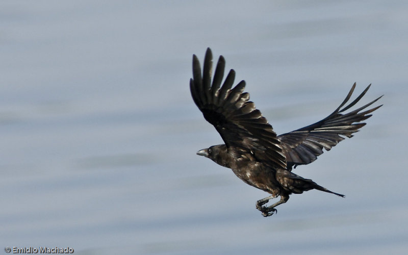 Corvus corax EM-0069745.jpg