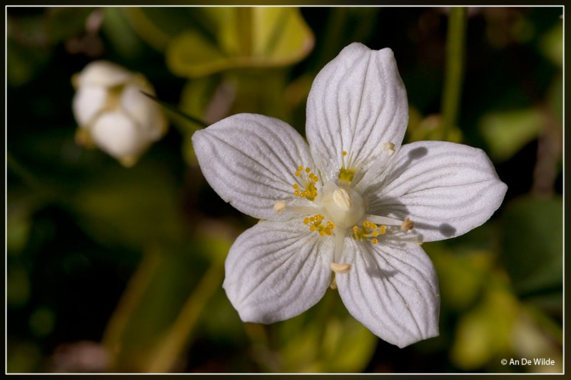 Parnassia - Parnassia palustris