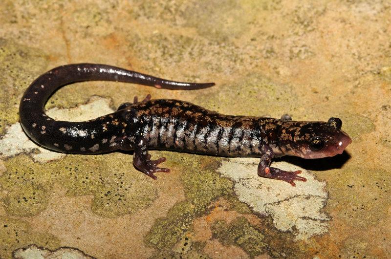 Rich Mountain Salamander