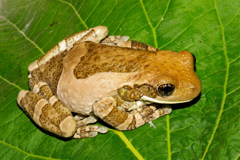 Veined Treefrog
