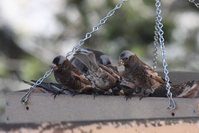 Black Rosy-Finches