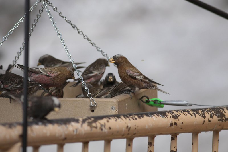 All 3 Rosy-Finches