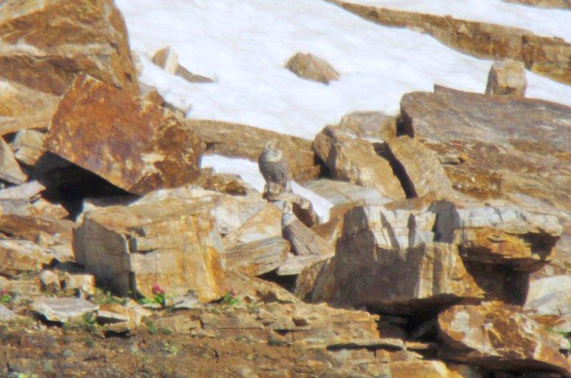 Himalayan Snowcocks