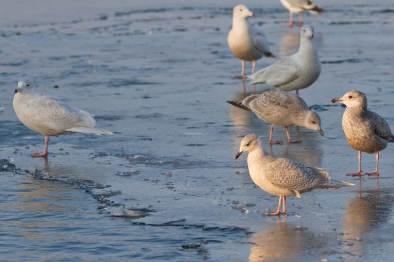 Iceland, Thayers, Glaucous (3) and Herring Gulls