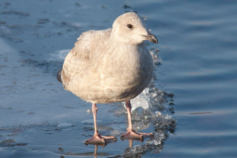 Thayers Gull