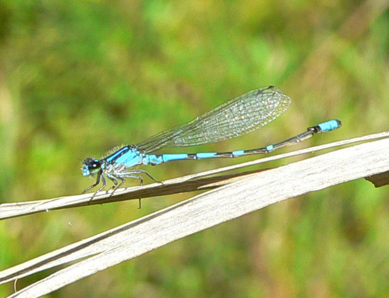 Pine Barrens Bluet - <i>Enallagma recurvatum</i>