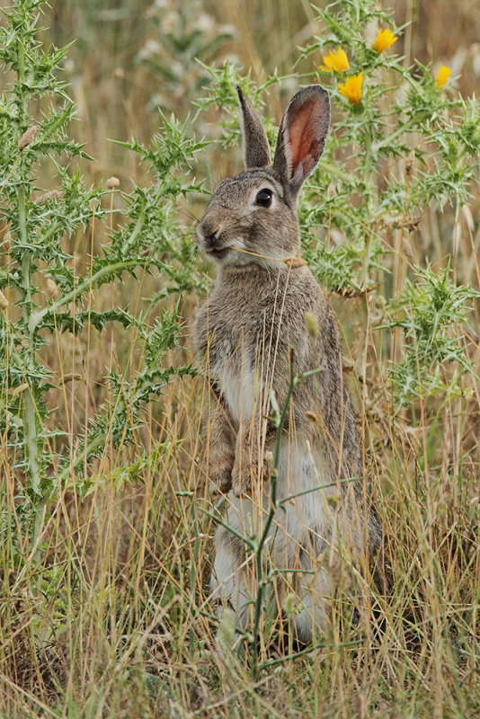 Common rabbit Oryctolagus cuniculus kunec_MG_1145-111.jpg