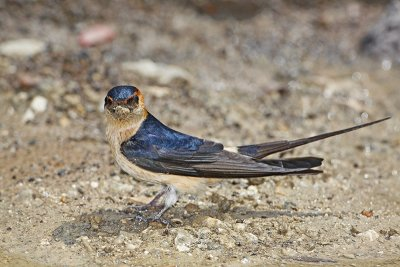 Red-rumped swallow Cecropis daurica rdeča lastovka_MG_3801-11.jpg